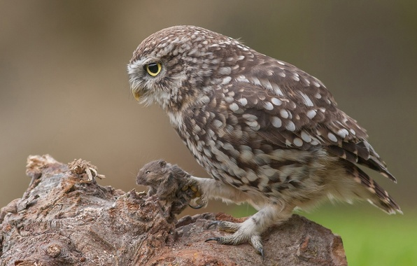 Picture owl, mouse, mining, The little owl