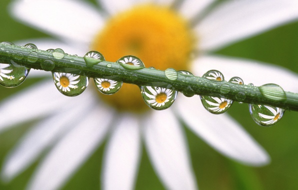 Picture drops, flowers, Daisy, Daisies in the Dewdrops