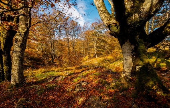 Picture autumn, forest, leaves, the sun, trees, yellow, gold