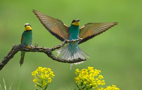 Picture flowers, birds, wings, branch, bee-eaters, the bee-eaters