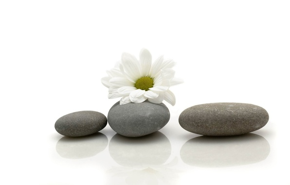 Picture flower, stones, Daisy