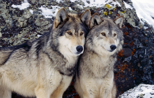 Picture winter, pair, wolves