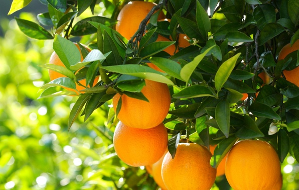 Picture nature, tree, oranges, fruit, nature, wood, fruits, oranges
