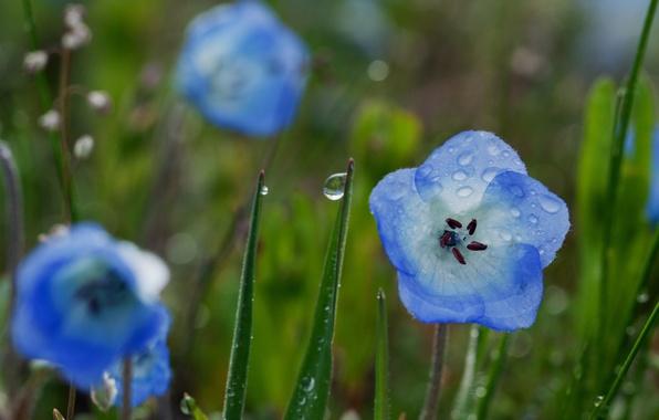 Picture greens, field, flower, summer, grass, water, drops, macro, flowers, blue, nature, Rosa, rain, blue, glade, …