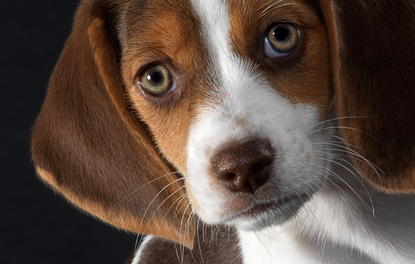 Picture each, puppy, Beagle