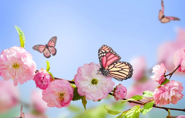 Picture butterfly, pink, spring, flowering, sky, blue, pink, blossom, flowers, spring, blue sky, butterflies