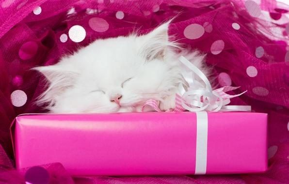 Picture white, gift, sleep, muzzle, kitty, tulle, sleeping kitten, sleep, white kitten