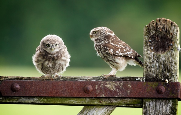 Picture birds, nature, the fence, owls, owlet, Owls