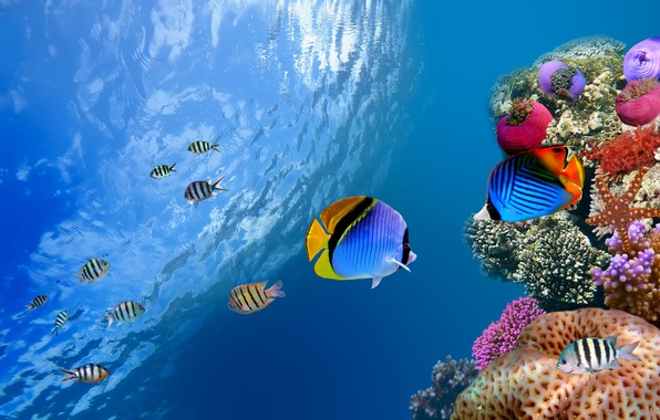 Picture sea, the ocean, fish, underwater, sea, ocean, fish, coral, od water, coral