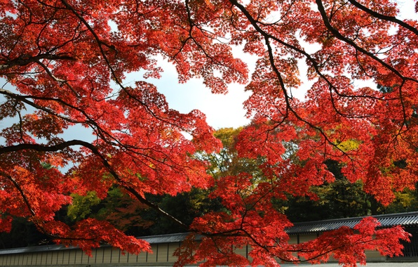 Picture autumn, leaves, trees, Park, Japan, garden, red, maple, Kyoto