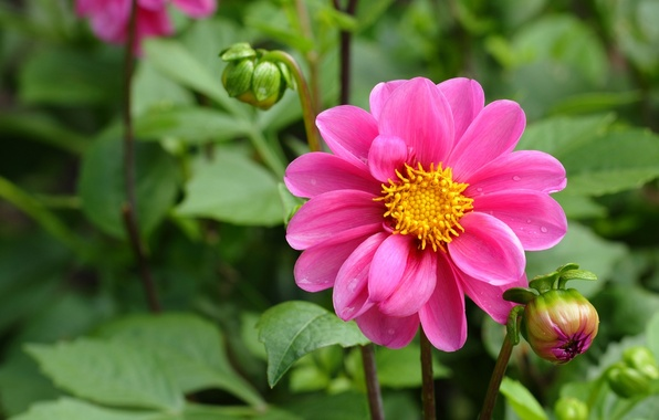 Picture greens, flower, leaves, pink, buds, Dahlia