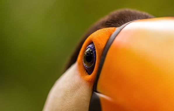 Picture macro, eyes, bird, beak, Toucan