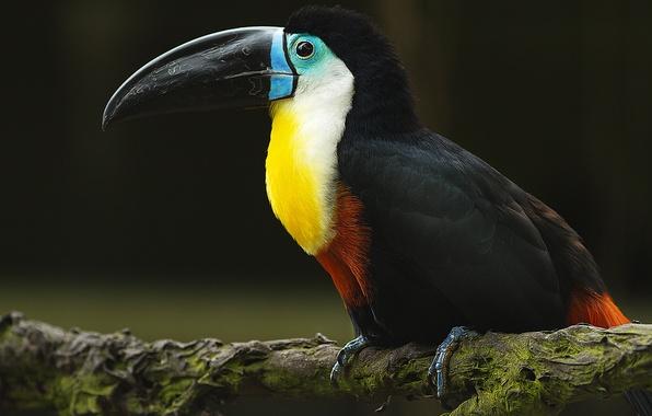 Picture bird, branch, beak, Toucan