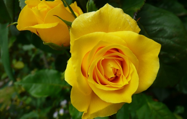 Picture macro, rose, buds, yellow rose