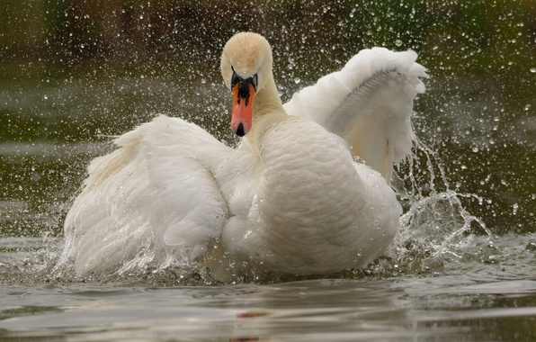 Picture water, squirt, bird, wings, Swan