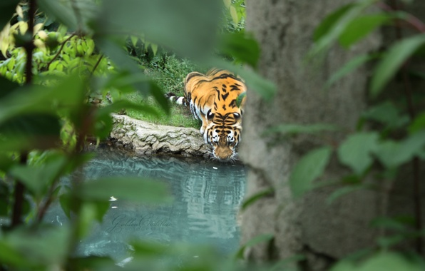Picture leaves, water, branches, tiger, predator, drinking