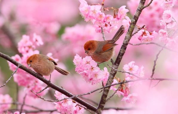 Picture flowers, birds, branches, tree, spring, garden, pair