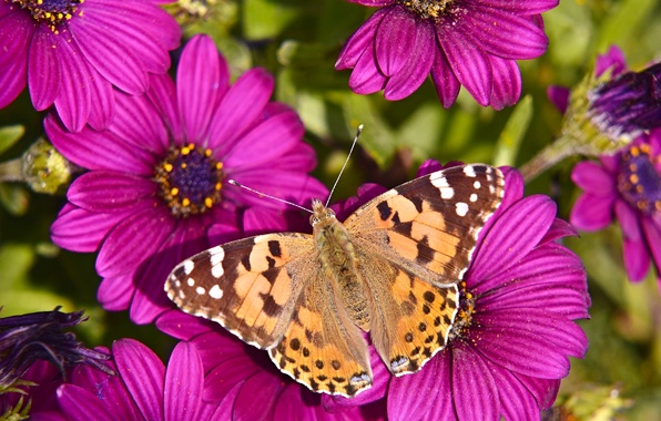 Picture macro, flowers, butterfly, Osteospermum, The painted lady
