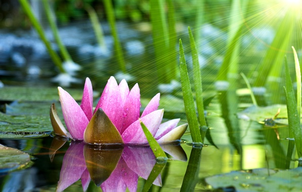 Picture flower, leaves, water, the sun, rays, pond, pink, Lotus, Lily, water Lily