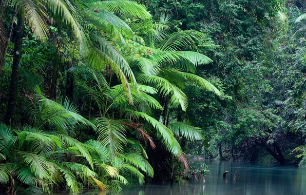 Picture forest, water, plant, Daintree national park