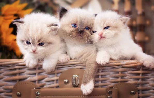 Picture kittens, kids, trio, Trinity, Ragdoll