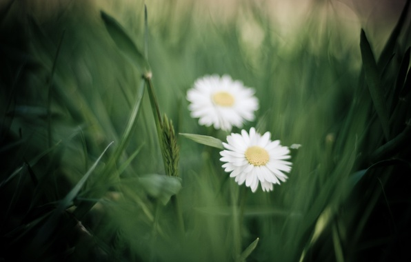 Picture greens, grass, macro, flowers, chamomile, petals, blur, white