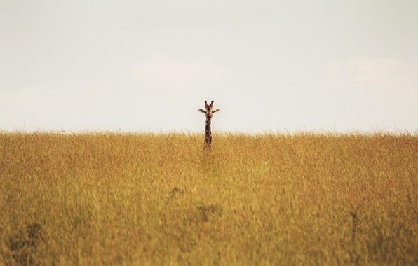Picture giraffe, savannah, wildlife, neck