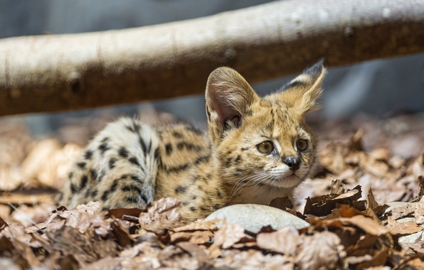 Picture cat, look, leaves, baby, cub, kitty, Serval, ©Tambako The Jaguar