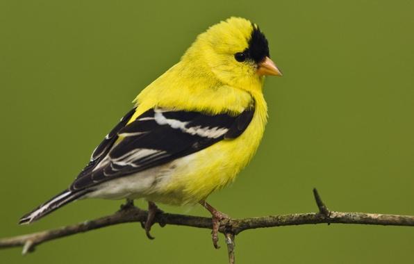 Picture bird, American, little, male, American, goldfinch, Goldfinch, Male