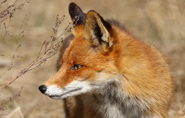 Picture grass, look, Fox