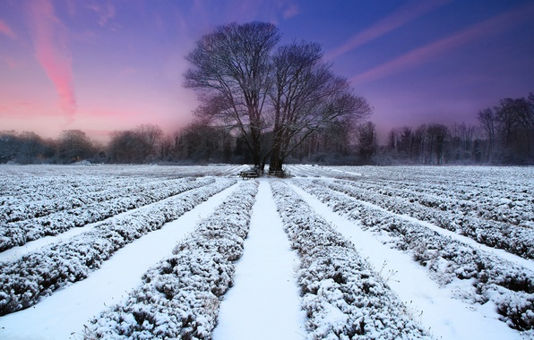 Picture winter, field, sunset, nature, tree, lavender