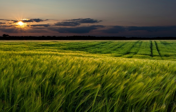 Picture wheat, greens, field, the sky, grass, the sun, clouds, landscape, sunset, nature, green, background, widescreen, ...