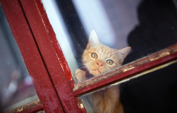 Picture look, window, red, muzzle, cat