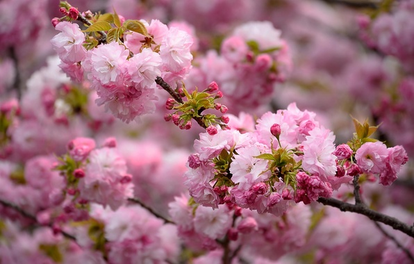 Picture nature, pink, beauty, branch, spring, flowering