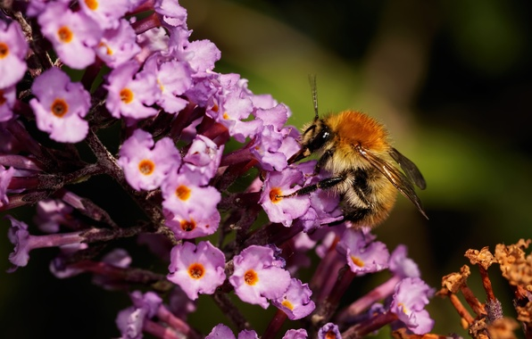 Photo wallpaper flowers, macro, bumblebee, insect, nature, nectar, flower