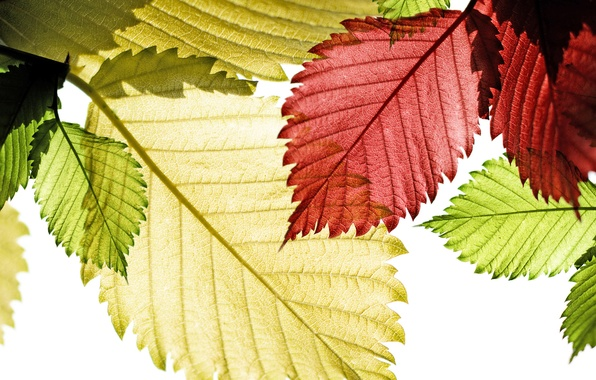 Picture autumn, leaves, the sun, macro, light, nature, green, red, veins