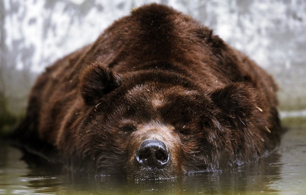 Picture face, water, stay, bear, brown