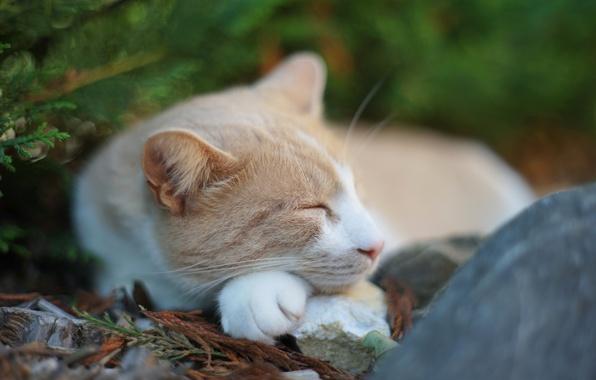 Picture cat, nature, stone, sleeping, needles