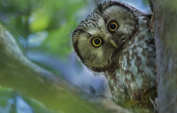Picture owl, bird, Tengmalm's owl