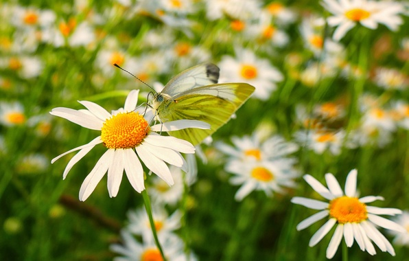 Picture macro, butterfly, chamomile, bokeh