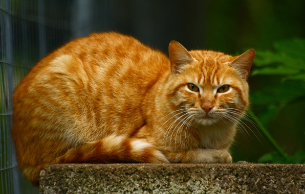 Picture cat, large, red, lies
