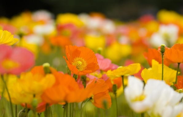 Picture field, flowers, nature, stems, glade, bright, Maki, plants, spring, yellow, petals, white, orange, buds, flowering