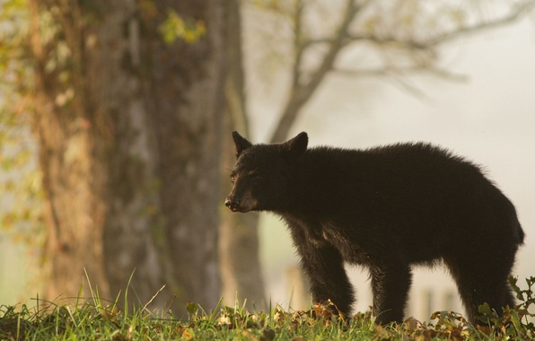 Picture grass, nature, bear