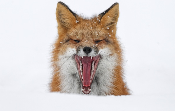 Picture winter, snow, mouth, Fox, Fox, yawns