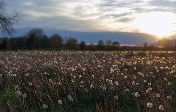 Picture field, summer, the sky, the sun, clouds, trees, sunset, flowers, clouds, glade, the evening, Dandelions