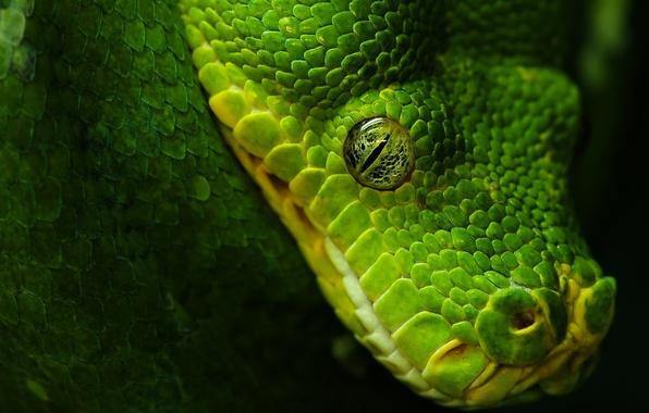 Picture eyes, black, Snake, green