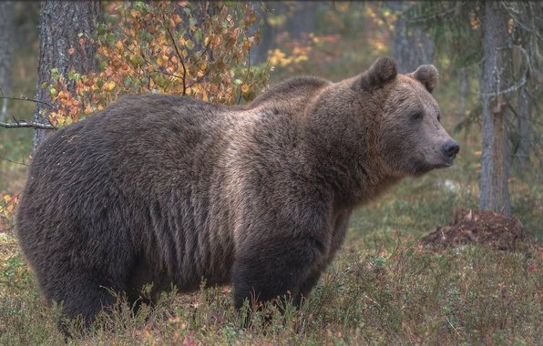 Picture forest, bear, the Bruins