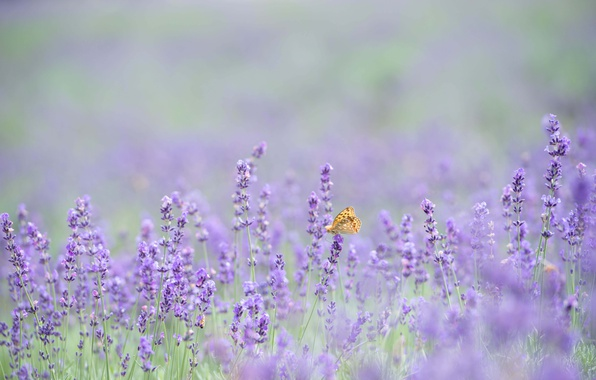 Picture butterfly, flowers, bokeh, lavender, lavender field