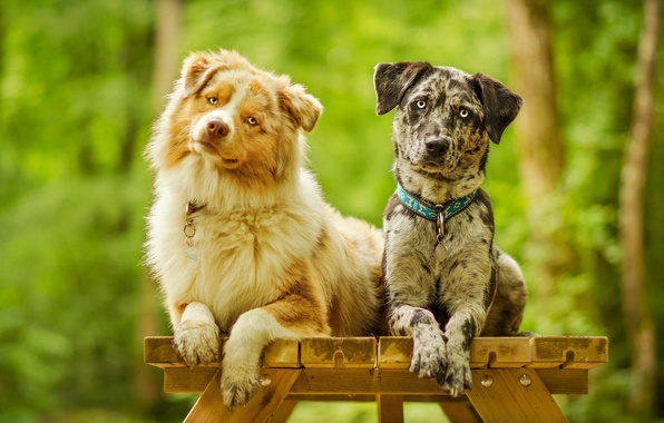 Picture dogs, look, posing, a couple