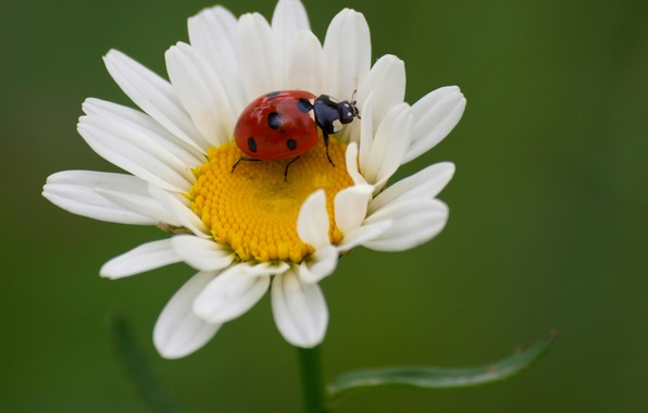 Picture flower, nature, ladybug, beetle, petals, Daisy, insect